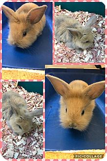 Lionhead Mix for adoption in Cheboygan, Michigan - Judy Hopps
