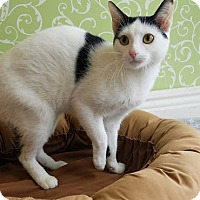 Domestic Shorthair Cat for adoption in Red Wing, Minnesota - Lemon