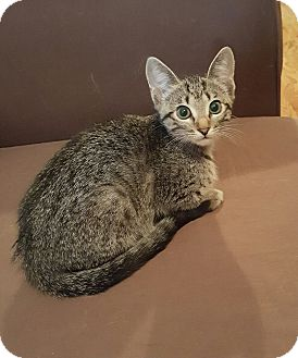 Domestic Shorthair Kitten for adoption in Duluth, Georgia - Tricksie