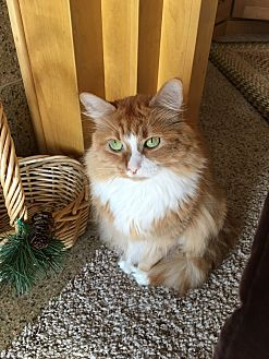 Domestic Longhair Cat for adoption in Hudson, Wisconsin - Lola