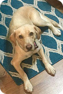 Labrador Retriever Mix Dog for adoption in Southbury, Connecticut - Honey~adopted!