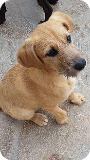 Labrador Retriever/Cairn Terrier Mix Puppy for adoption in San Diego, California - Sandy