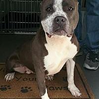 Adopt A Pet :: Indigo (Indy) - Jackson, NJ