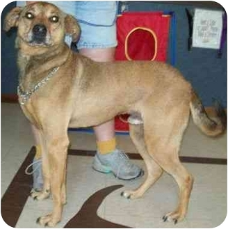 German Shepherd Dog/Terrier (Unknown Type, Medium) Mix Dog for adoption in North Judson, Indiana - McDonald
