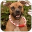 Photo 1 - Staffordshire Bull Terrier Dog for adoption in Long Beach, California - Molly