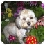 Photo 1 - Poodle (Miniature)/Lhasa Apso Mix Dog for adoption in Los Angeles, California - MANDEE