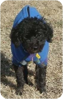Poodle (Miniature) Dog for adoption in Madison, Wisconsin - Yuri