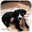 Photo 2 - Great Dane/Coonhound Mix Puppy for adoption in Cincinnati, Ohio - Sophia