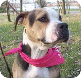 American Bulldog Mix Dog for adoption in Barron, Wisconsin - Kizzy