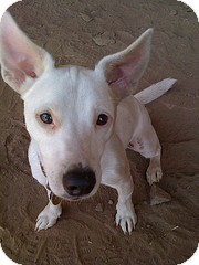 Jack Russell Terrier Mix Dog for adoption in Santa Monica, California - TJ