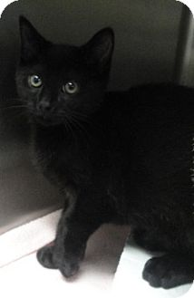Domestic Shorthair Cat for adoption in Spruce Pine, North Carolina - Stan
