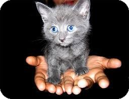 Domestic Shorthair Kitten for adoption in Los Angeles, California - MILES