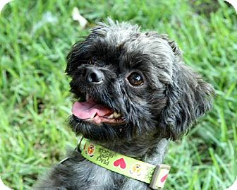 Shih Tzu Mix Dog for adoption in Coppell, Texas - Summer