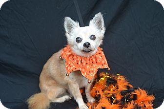 Pomeranian Dog for adoption in Plano, Texas - Newton