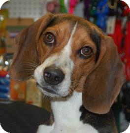 Beagle Mix Dog for adoption in Brooklyn, New York - Falafel