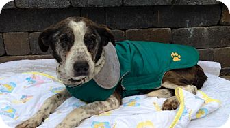 Blue Heeler Mix Dog for adoption in Salem, Oregon - Speckles