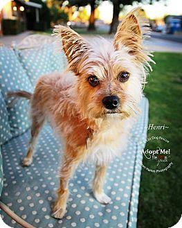Silky Terrier Dog for adoption in Phoenix, Arizona - Henri