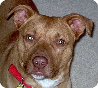 Labrador Retriever/American Staffordshire Terrier Mix Dog for adoption in Chesterfield, Michigan - Benny 2014 (m/c)