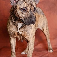 American Staffordshire Terrier Mix Dog for adoption in Harvey, Louisiana - Maude - In Foster Home