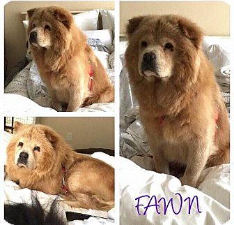 Chow Chow Dog for adoption in Dix Hills, New York - FAWN