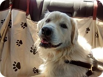 Golden Retriever/Great Pyrenees Mix Dog for adoption in Brattleboro, Vermont - Potter