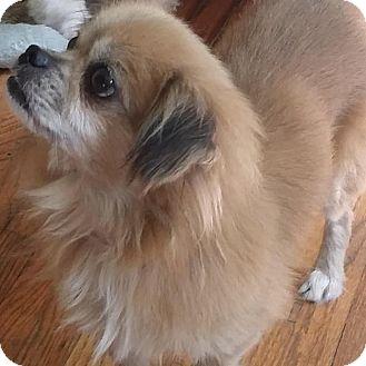 Tibetan Spaniel/Pekingese Mix Dog for adoption in SO CALIF, California - PETE