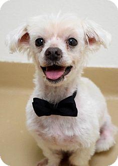 Maltese Mix Dog for adoption in Dublin, California - Tex