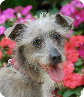 Terrier (Unknown Type, Medium) Mix Dog for adoption in Marina del Rey, California - Alfie