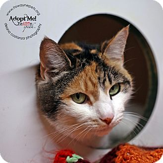 Domestic Shorthair Cat for adoption in Lyons, New York - Cupcake
