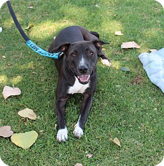 Labrador Retriever Mix Dog for adoption in Yuba City, California - Daisy