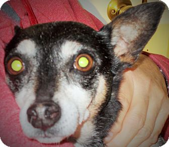Chihuahua Dog for adoption in Plain City, Ohio - Rocky