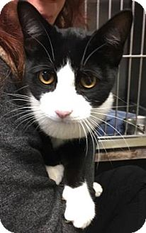 Domestic Shorthair Cat for adoption in Voorhees, New Jersey - Salmoneus-PetSmart Marlton