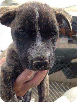 Belgian Malinois/Bull Terrier Mix Puppy for adoption in BONITA, California - Pierre