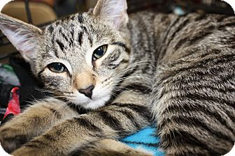 Domestic Shorthair Kitten for adoption in Alamo, California - Daisy