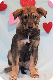 Shepherd (Unknown Type) Mix Puppy for adoption in Waldorf, Maryland - Olivia
