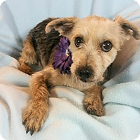 Yorkie, Yorkshire Terrier Mix Dog for adoption in Alamosa, Colorado - Willa