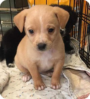 Terrier (Unknown Type, Medium) Mix Puppy for adoption in Mesa, Arizona - DYANI