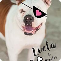 American Bulldog Mix Dog for adoption in Miami, Florida - Leela