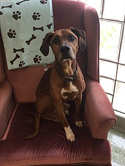 Hound (Unknown Type) Dog for adoption in Stahlstown, Pennsylvania - Dudley