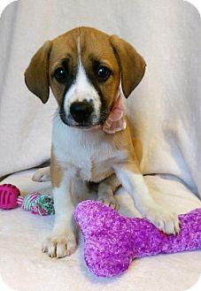 Boxer/Labrador Retriever Mix Puppy for adoption in Newark, Delaware - Becky