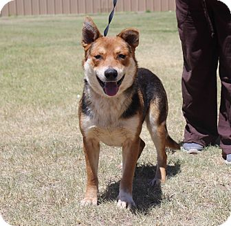 German Shepherd Dog/Mixed Breed (Large) Mix Dog for adoption in Middlebury, Connecticut - Blakely