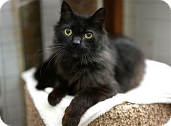 Domestic Longhair Cat for adoption in Lincoln, California - Larry