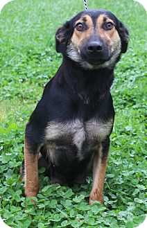 Shepherd (Unknown Type) Mix Puppy for adoption in Waldorf, Maryland - Penny