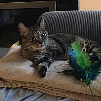 Domestic Shorthair Cat for adoption in Lombard, Illinois - Cambry