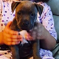 Adopt A Pet :: Sky (adoption pending) - Belleville, MI