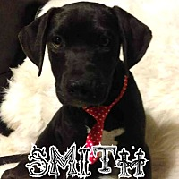 Great Dane/American Pit Bull Terrier Mix Puppy for adoption in Des Moines, Iowa - Smith-adoption pending