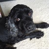 Cocker Spaniel Mix Dog for adoption in Alpharetta, Georgia - Donahue