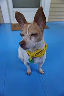 Chihuahua/Terrier (Unknown Type, Small) Mix Dog for adoption in Barriere, British Columbia - Cissy