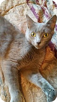 Russian Blue Cat for adoption in Washington, D.C. - Paris