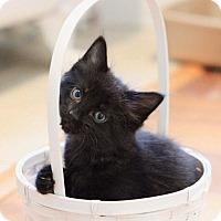 Adopt A Pet :: Sebastion - Forest Hills, NY